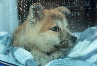 濡れた窓と子犬