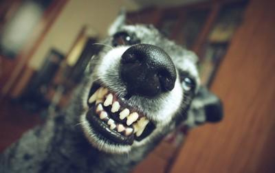 こちらに向かって歯をむき出すグレーの犬