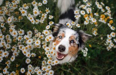 花畑の中から顔を出す犬
