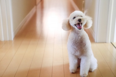 フローリングにいる犬