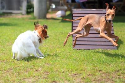 ドッグランで遊ぶ犬