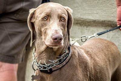 内側に突起がついた危ない首輪をしている犬