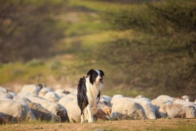 羊の群れとボーダー・コリー
