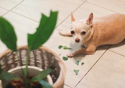 観葉植物の葉っぱを食べるチワワ