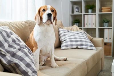 ソファーに座るビーグル