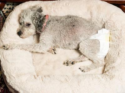 おむつを着けてベッドで横になる犬
