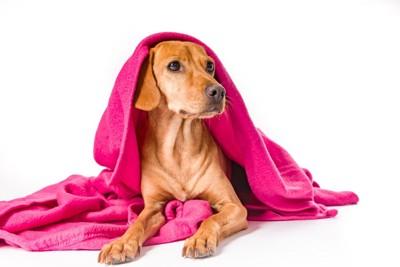 ピンクのブランケットを被る犬