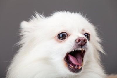 吠える白い犬の顔アップ