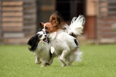 走る二頭のパピヨン
