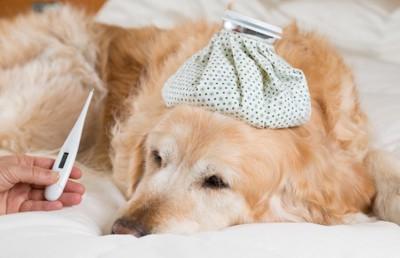 氷嚢を頭に乗せて熱を測られている犬