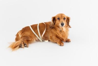 胴囲を測られる犬
