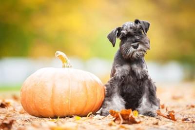かぼちゃの隣に犬