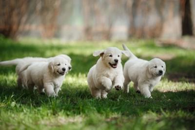 走るゴールデンレトリーバーの子犬たち