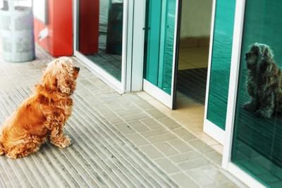 玄関の外を見つめる犬
