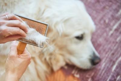 ブラッシングされる白い犬