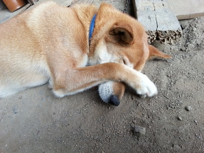 #痒がる柴犬#