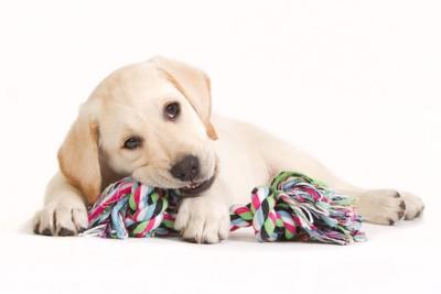 ロープおもちゃをかじるラブラドールの子犬