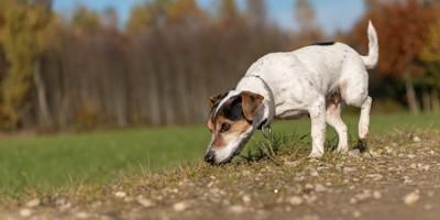 道の匂いを嗅ぎながら歩く犬