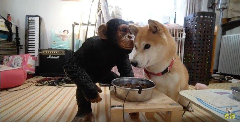 チンパンジー関係なし
