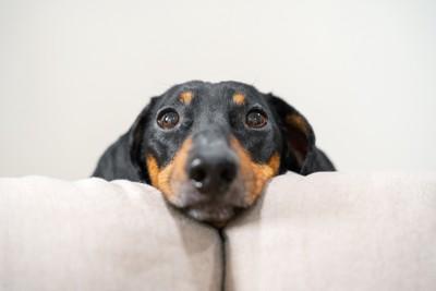正面を見ている犬