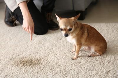 敷物に粗相して注意される犬