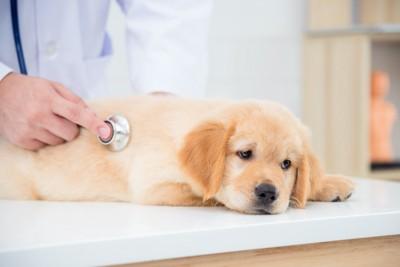 病院で聴診器を当てられている子犬