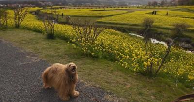 黄色いお花畑に犬