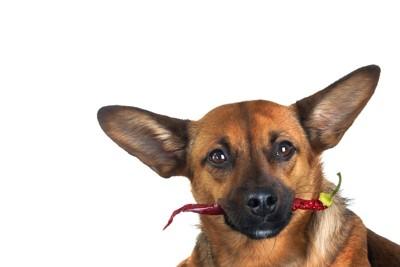 赤い唐辛子を口にくわえている犬