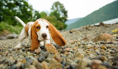 バセットハウンドの子犬
