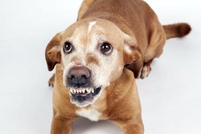 怯えて歯をむいて威嚇する犬