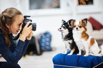 並んで座るチワワにカメラを向けている女性