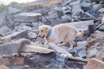 瓦礫の中を歩く犬