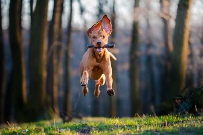 スティックを咥えて走る犬