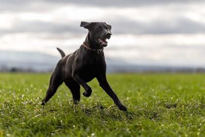 引き締まった体で走る黒い犬