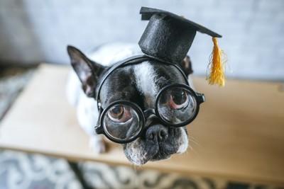 卒業式の格好をする犬