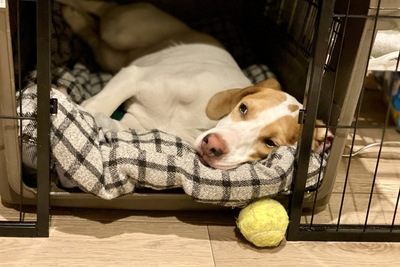 ベッドの上で横たわりながらこちらを見つめている犬