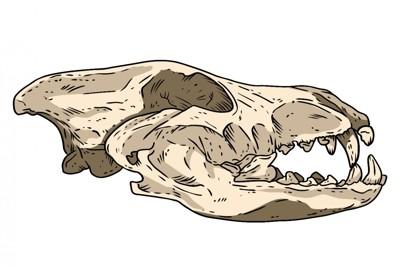 イヌ科動物の頭骨の化石のイラスト