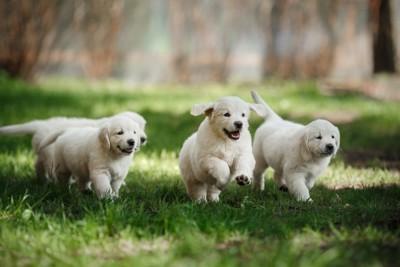 ゴールデン・レトリーバーの4頭の子犬