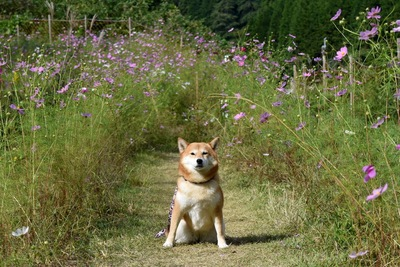 コスモスに囲まれた柴犬