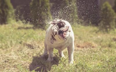 頭を振って水しぶきをあげる犬