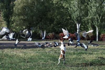 ハトを追いかける犬