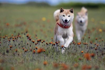 オレンジ色の花と二頭の柴犬