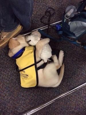 黄色いベストを着た子犬がぬいぐるみを抱いて寝ている姿