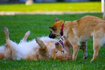 じゃれ合って遊ぶ2頭の犬
