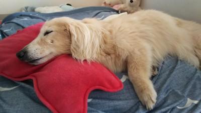 #右向きで寝る愛犬#
