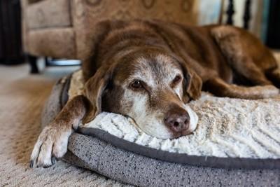 クッションに伏せる老犬