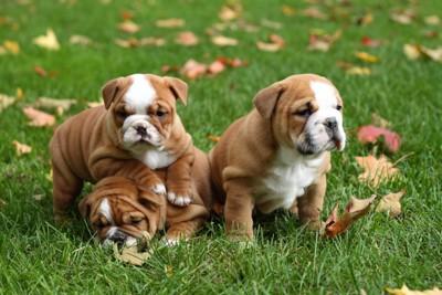 イングリッシュ ブルドッグの子犬たち