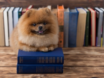 本の上に座るポメラニアン