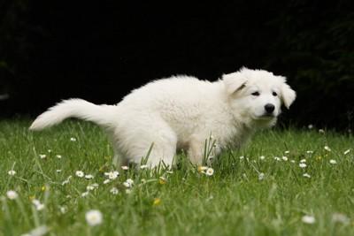 ウンチ中の白い犬
