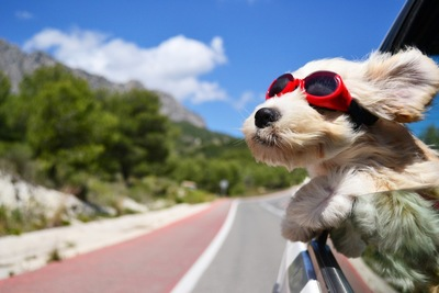 車から顔を出す犬